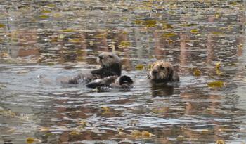 Img_6124_california_sea_otters